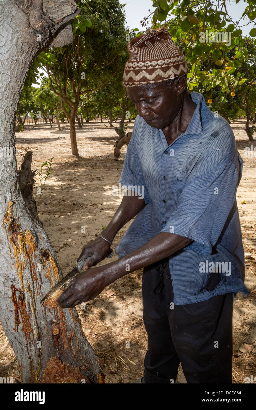 Cashew Nut Farmer inspecting Tree. Flowing sap indicates an illness. Near Sokone, Senegal - Stock Image