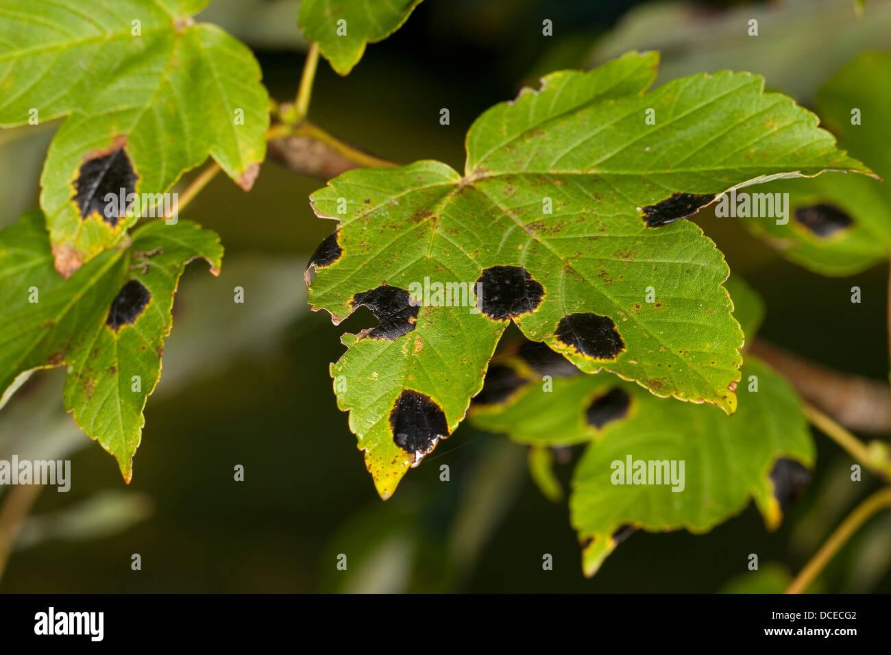 Tar spot, Ahorn-Runzelschorf, Teerfleckenkrankheit, Teerflecken-Krankheit, Rhytisma acerinum, Pilzbefall, plant - Stock Image