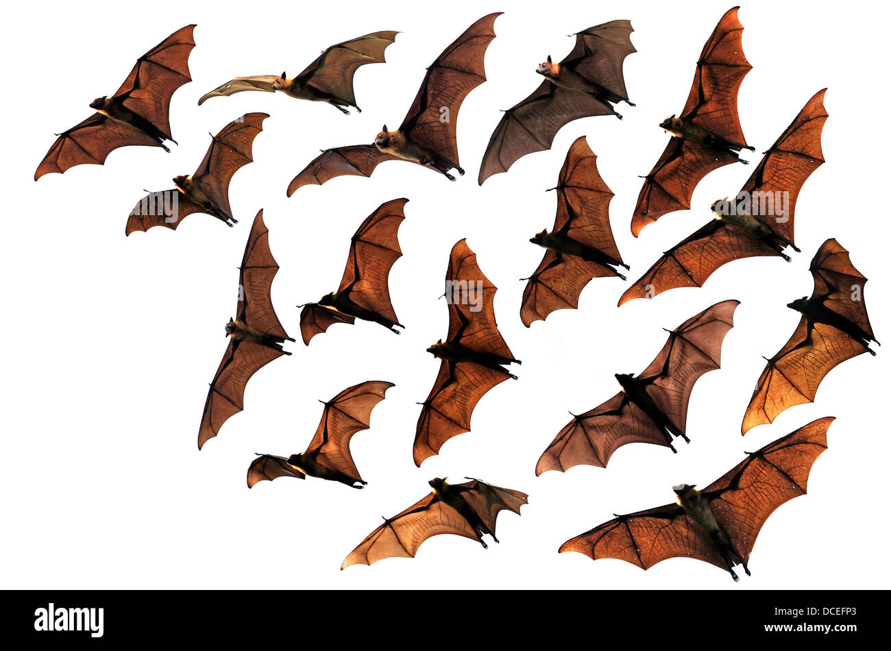Fruit bats flying fox colony flying in sky - Stock Image