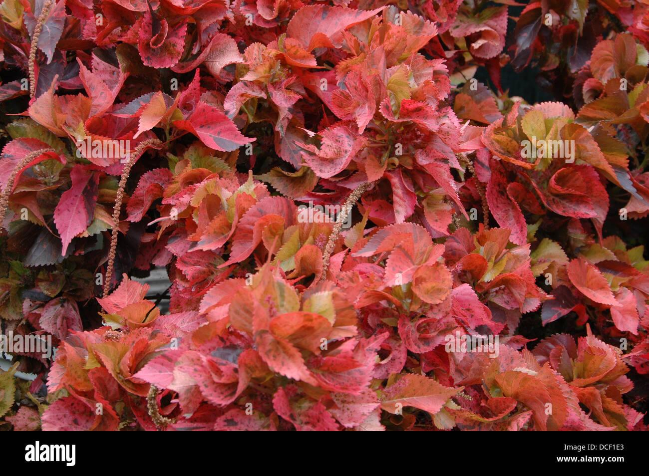 Copperleafs Acalypha Wilkesiana Copper Leaf Foliage Stock Photo