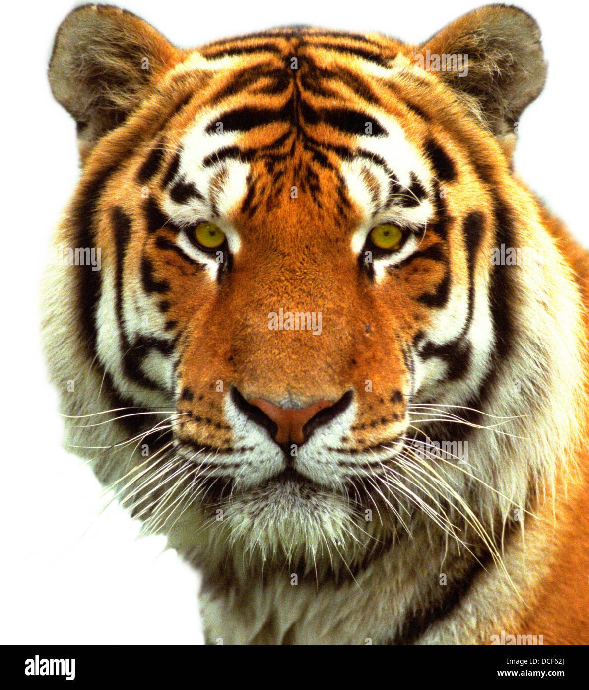 Tigers head siberian tiger 39 s head stock photo 59341034 - Image tete de tigre ...
