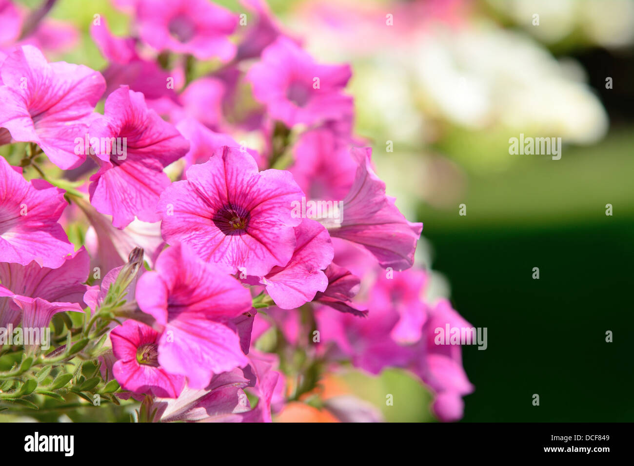 Closeup shot with pink bloom Petunia in the garden. - Stock Image