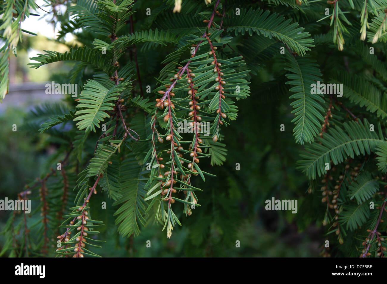 Metasequoia glyptostroboides Hu & Cheng. Historical tree of the Jardin des Plantes de Paris, planted in 1948. - Stock Image
