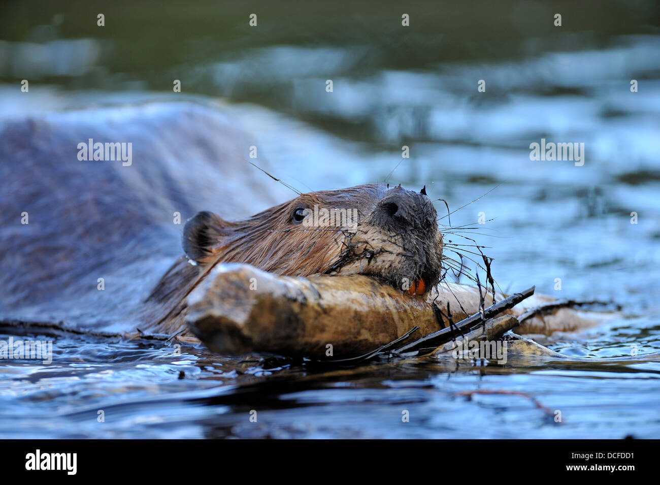 A beaver 'Castor canadenis' swimming carrying a stick in his mouth - Stock Image