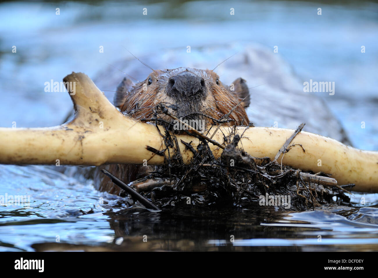 An adult beaver 'Castor canadenis' carrying a load of wet building materials to the dam - Stock Image