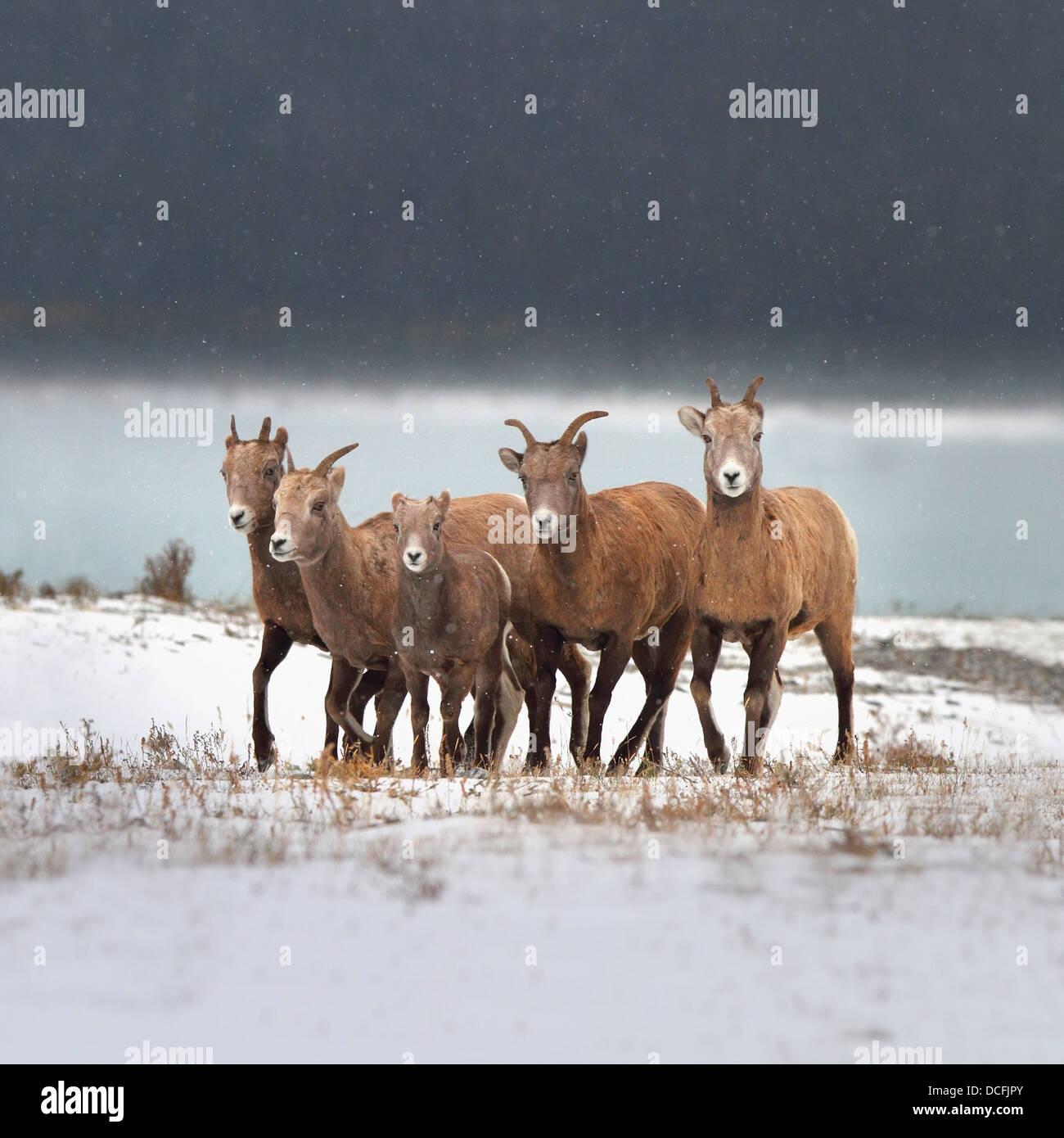 Mountain Sheep Family; Nordegg, Alberta, Canada - Stock Image