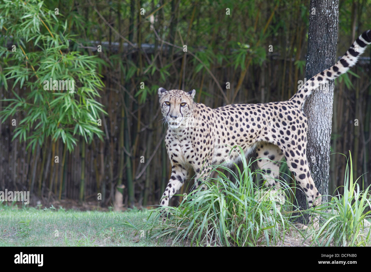 Cheetah, Acinonyx jubatus, also known as the hunting leopard  found  in eastern and southern Africa Stock Photo