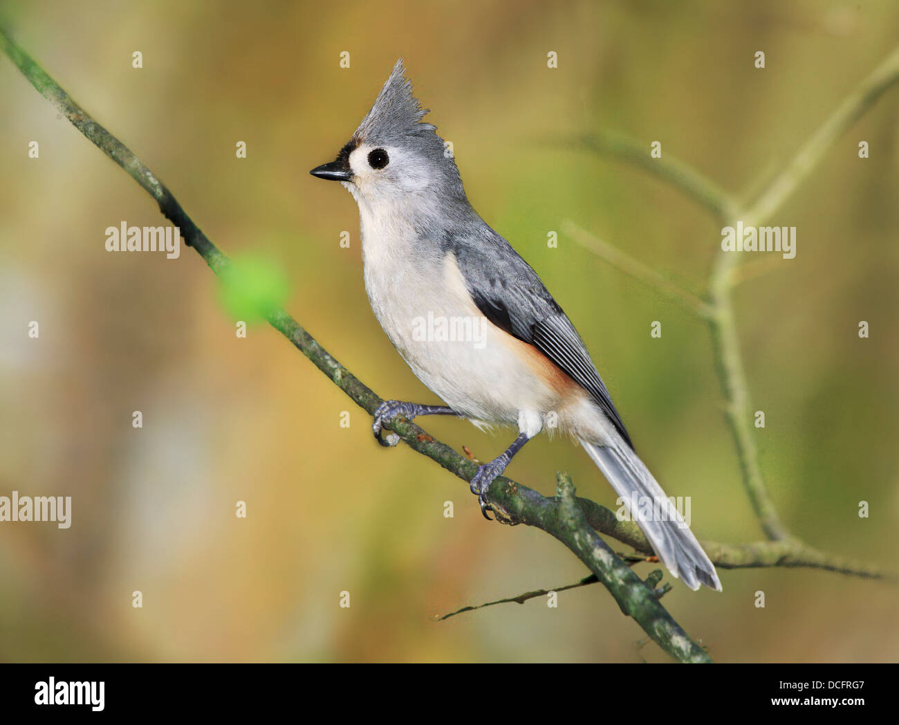 A Cute Little Bird, The Tufted Titmouse, Nicely Posing With It's Crest Raised As If For A Portrait, Parus bicolor Stock Photo