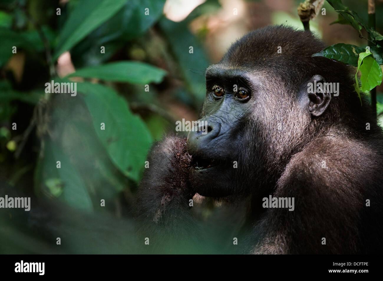Strong Ape Stock Photos & Strong Ape Stock Images - Alamy