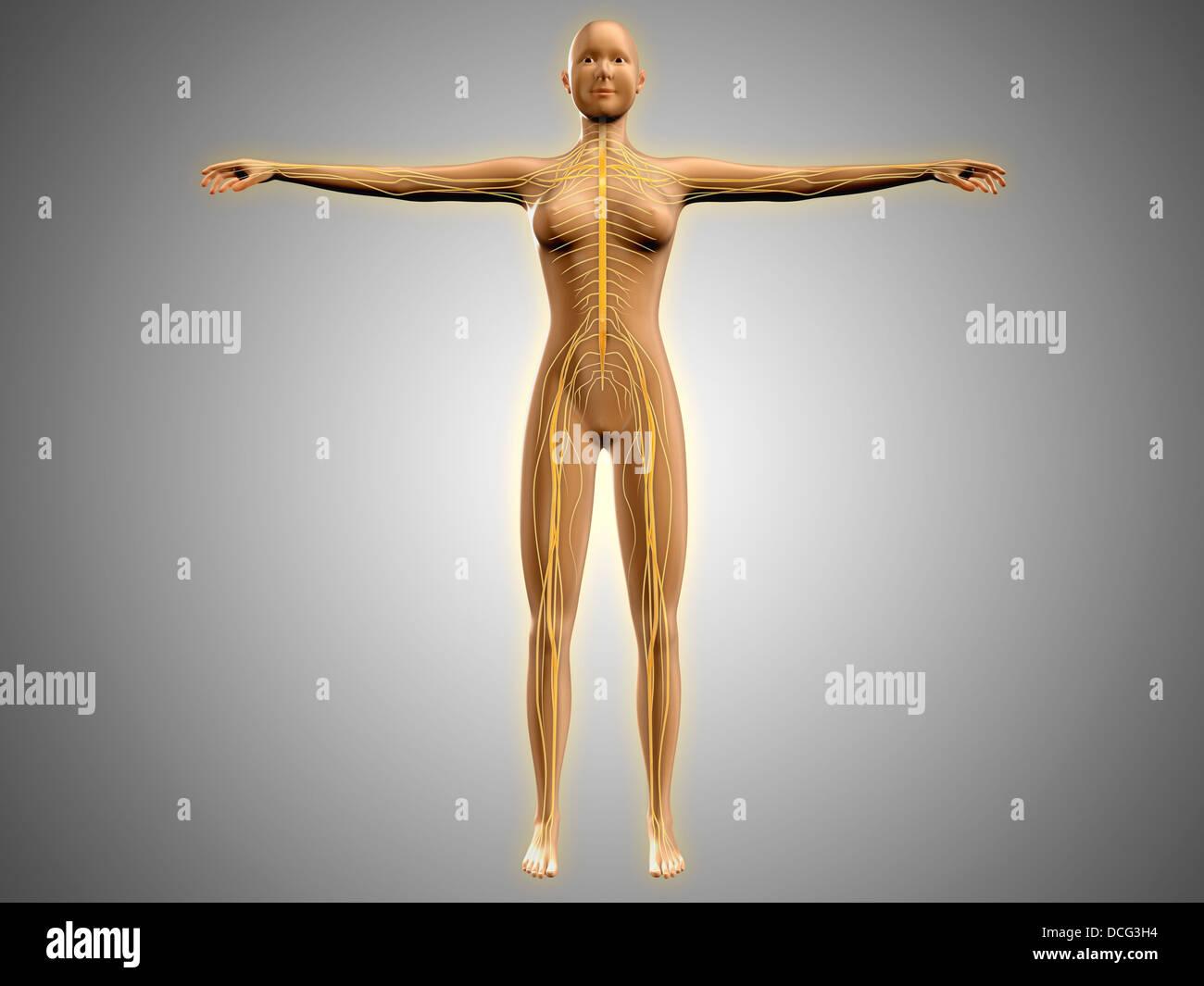 Anatomy of female body with nervous system Stock Photo: 59361040 - Alamy