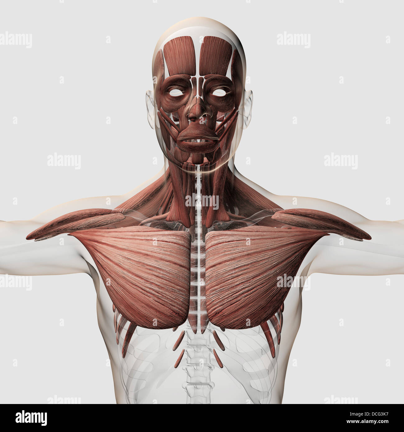 Male Chest Anatomy Stock Photos & Male Chest Anatomy Stock Images ...