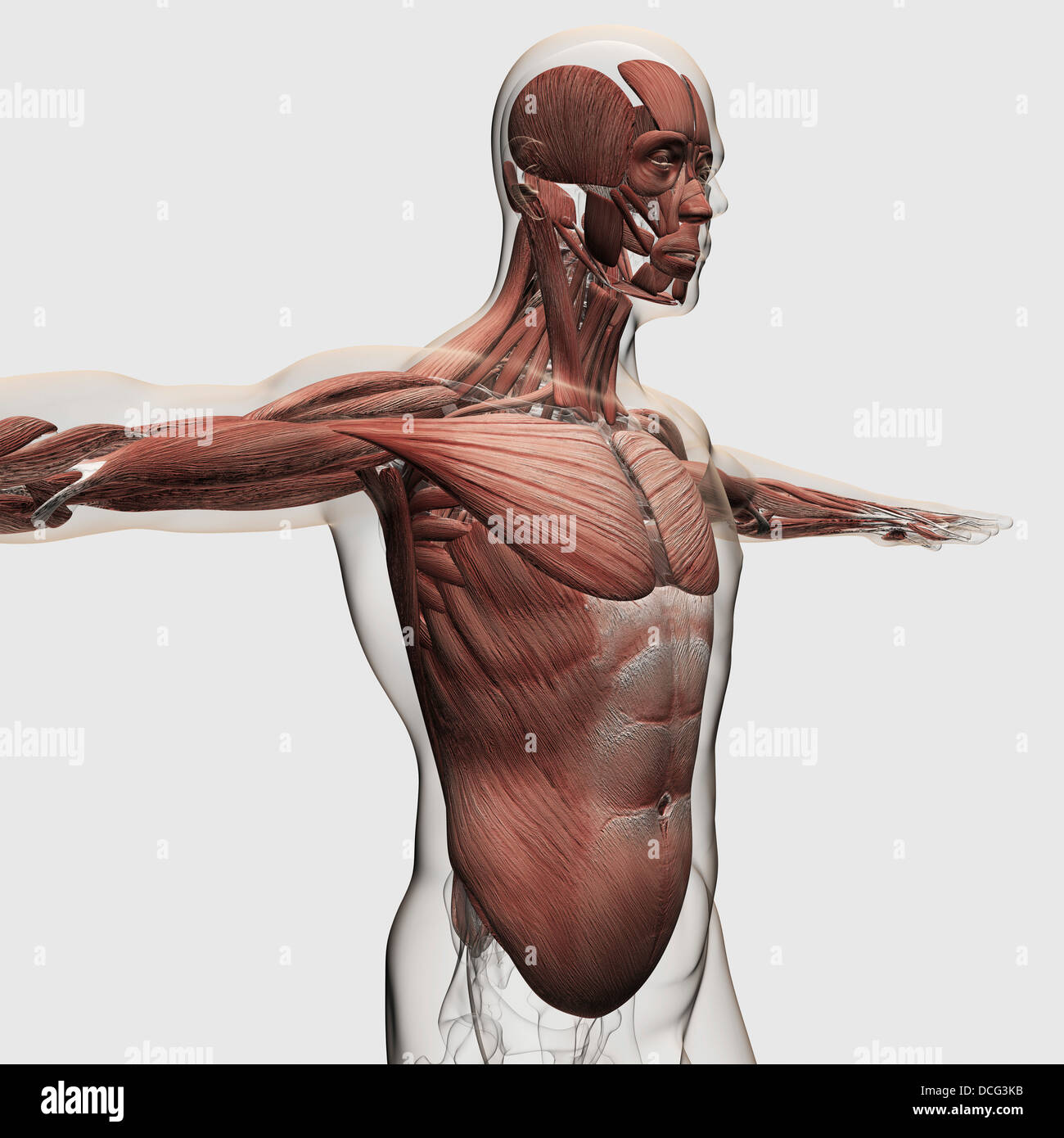 Anatomy of male muscles in upper body, side view Stock Photo ...