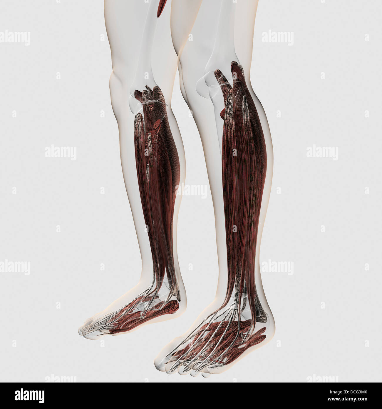 Male muscle anatomy of the human legs, anterior view. - Stock Image