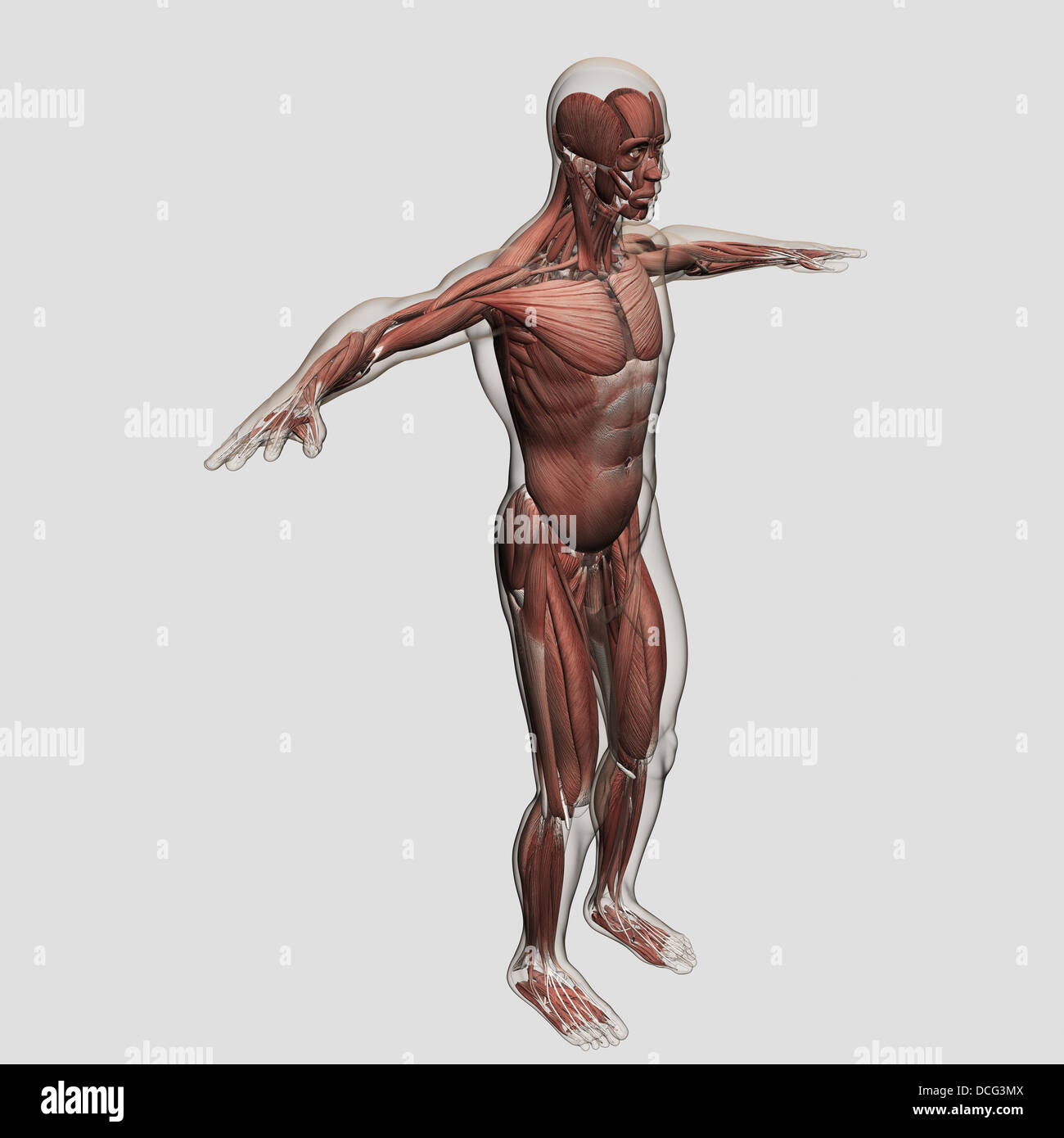 Anatomy of male muscular system, side view Stock Photo: 59361146 - Alamy