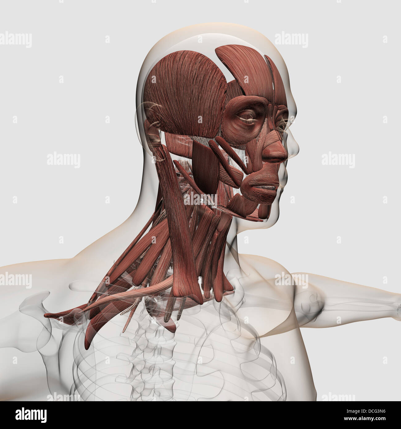 Anatomy of male facial and neck muscles, front view Stock Photo ...