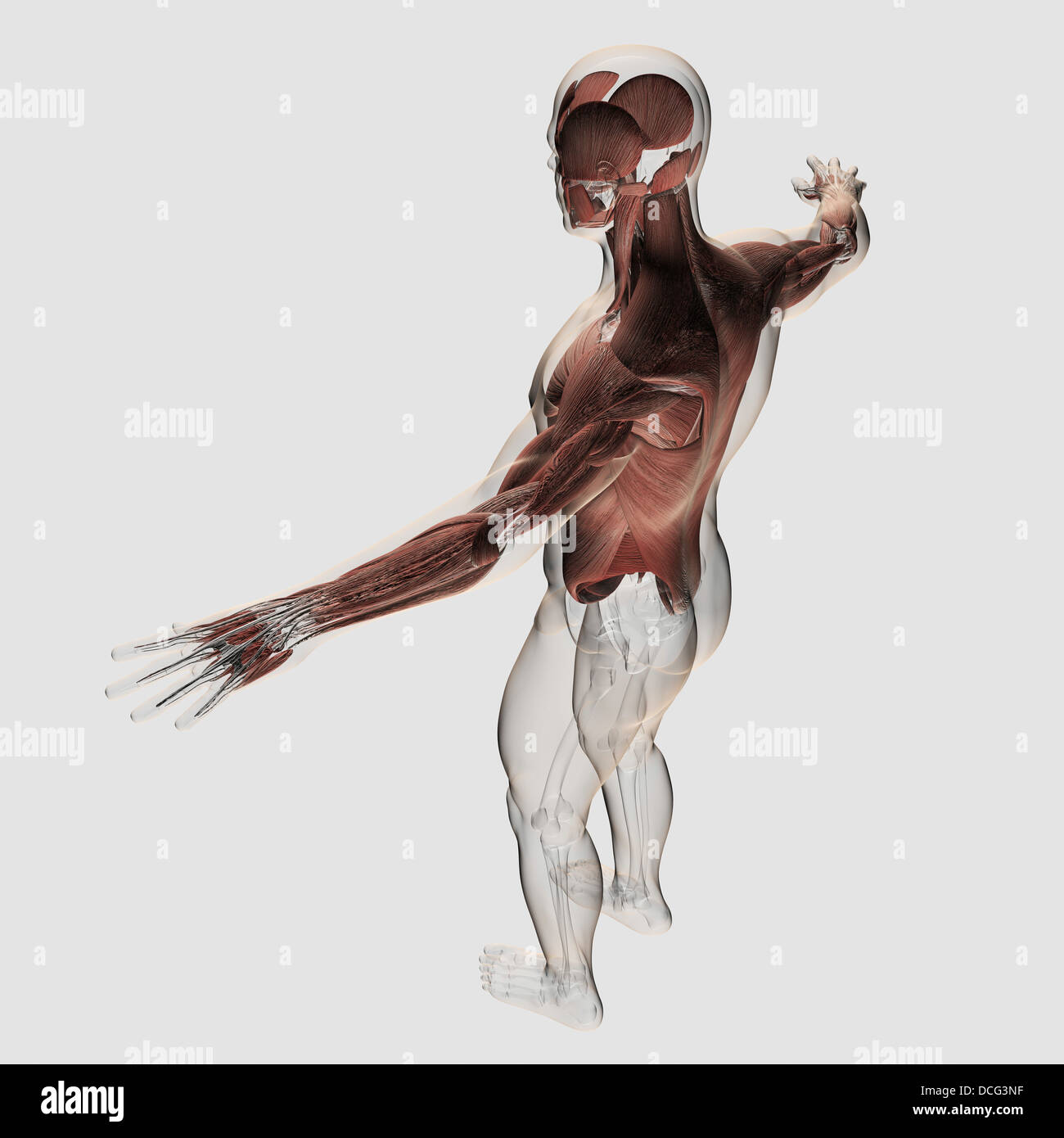 Anatomy of male muscles in upper body, posterior view Stock Photo ...