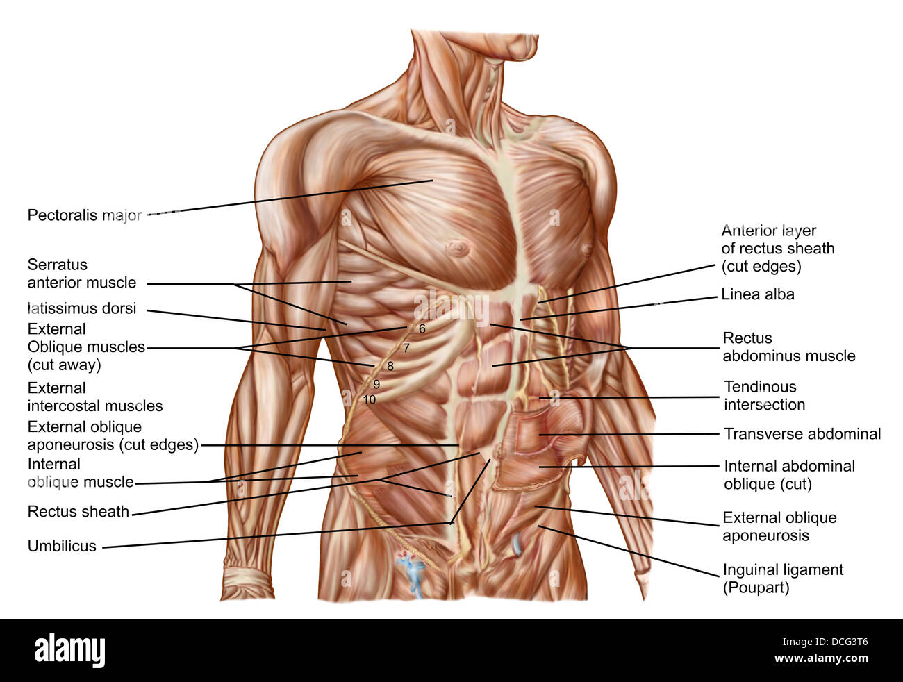 Anatomy of human abdominal muscles Stock Photo: 59361238 - Alamy