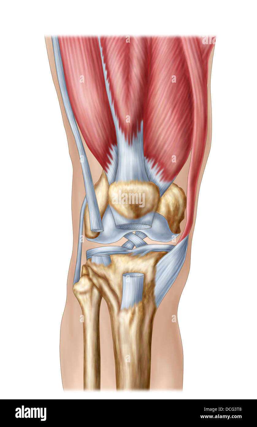 Anatomy Of Human Knee Joint Stock Photo 59361240 Alamy