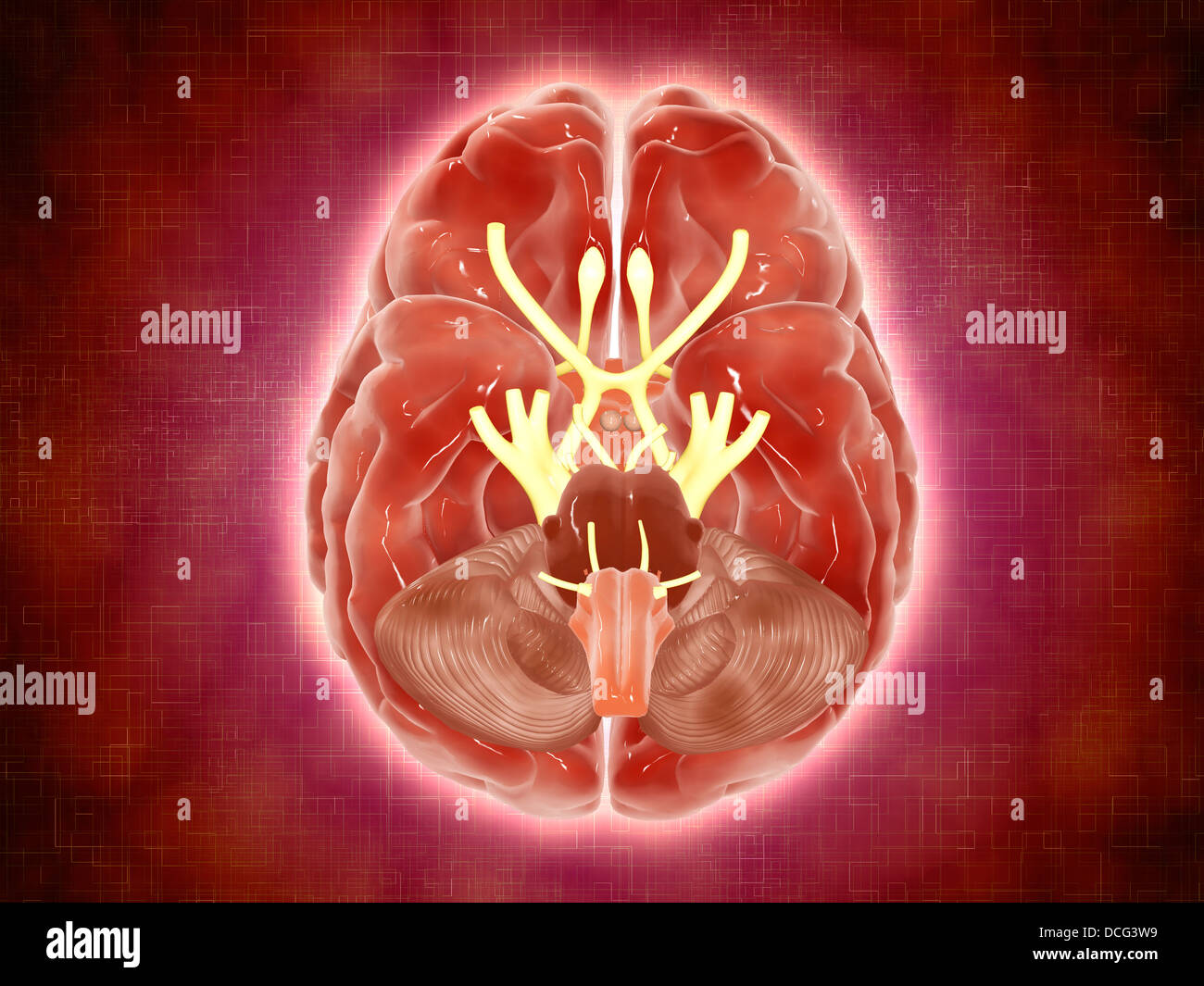 Conceptual image of cranial nerves in human brain. - Stock Image
