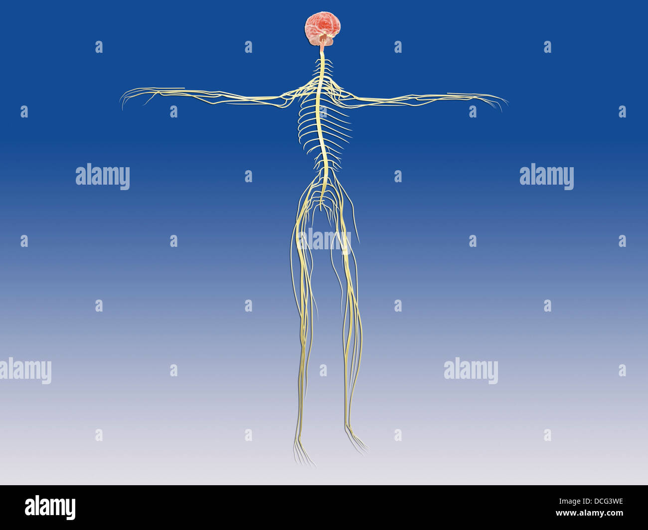 Central nervous system with human brain. - Stock Image