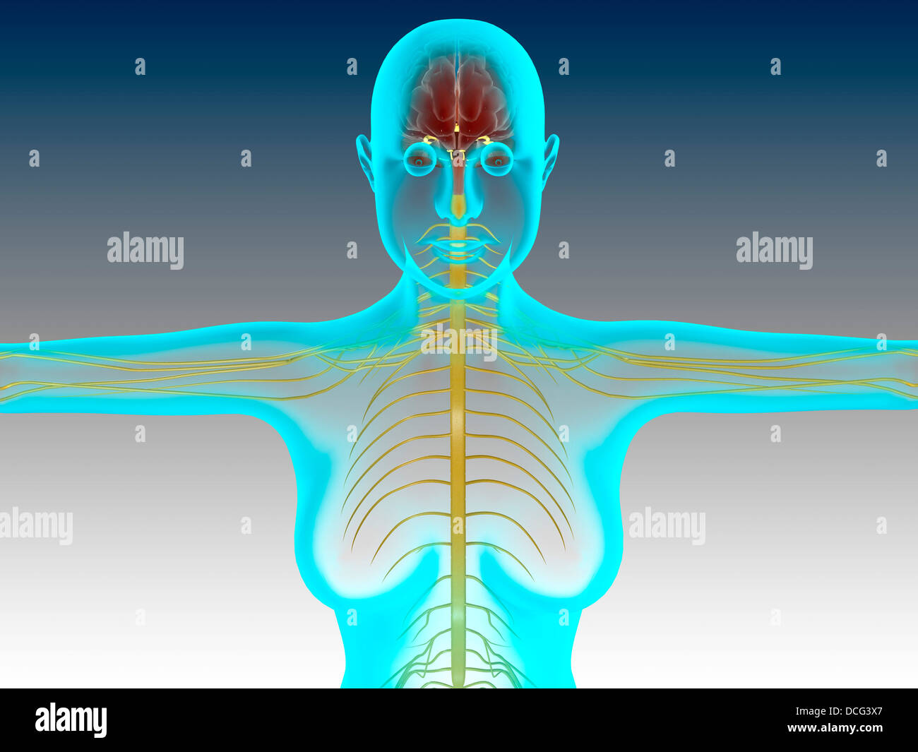 Conceptual image of female nervous system with brain. - Stock Image