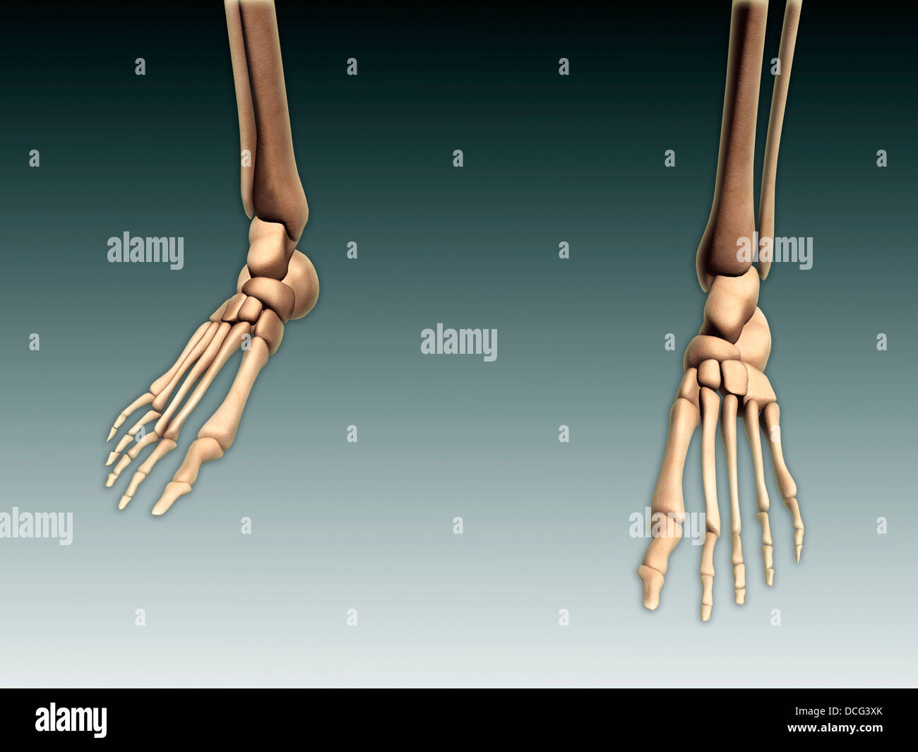 Conceptual image of bones in human legs and feet Stock Photo ...