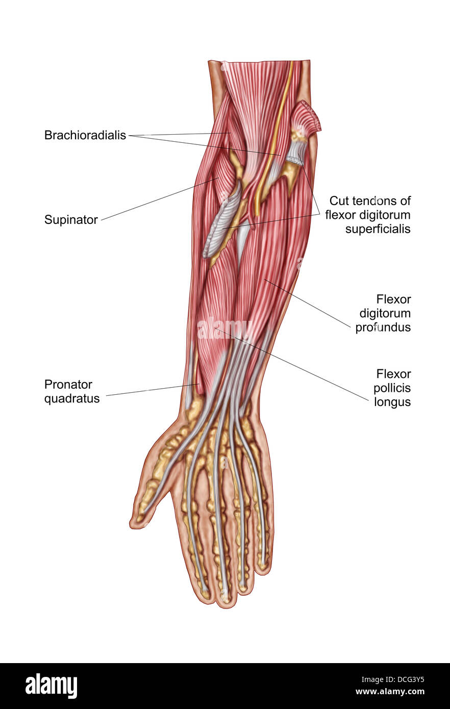 Anatomy of human forearm muscles, deep anterior view Stock Photo ...