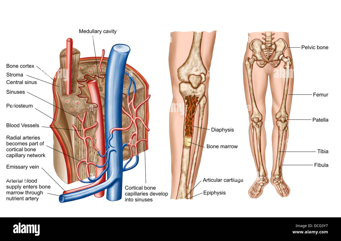 Anatomy of human bone marrow Stock Photo: 59361323 - Alamy