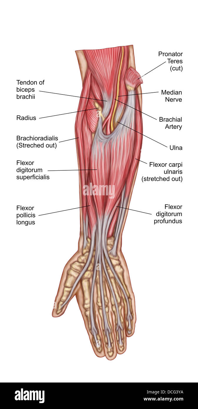 Brachial Artery Stock Photos Brachial Artery Stock Images Alamy