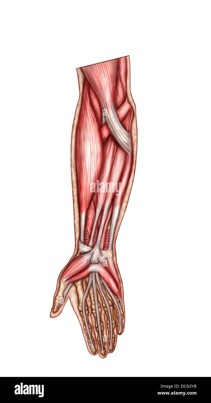 Anatomy Forearm Muscles Anterior View Stock Photos & Anatomy Forearm ...