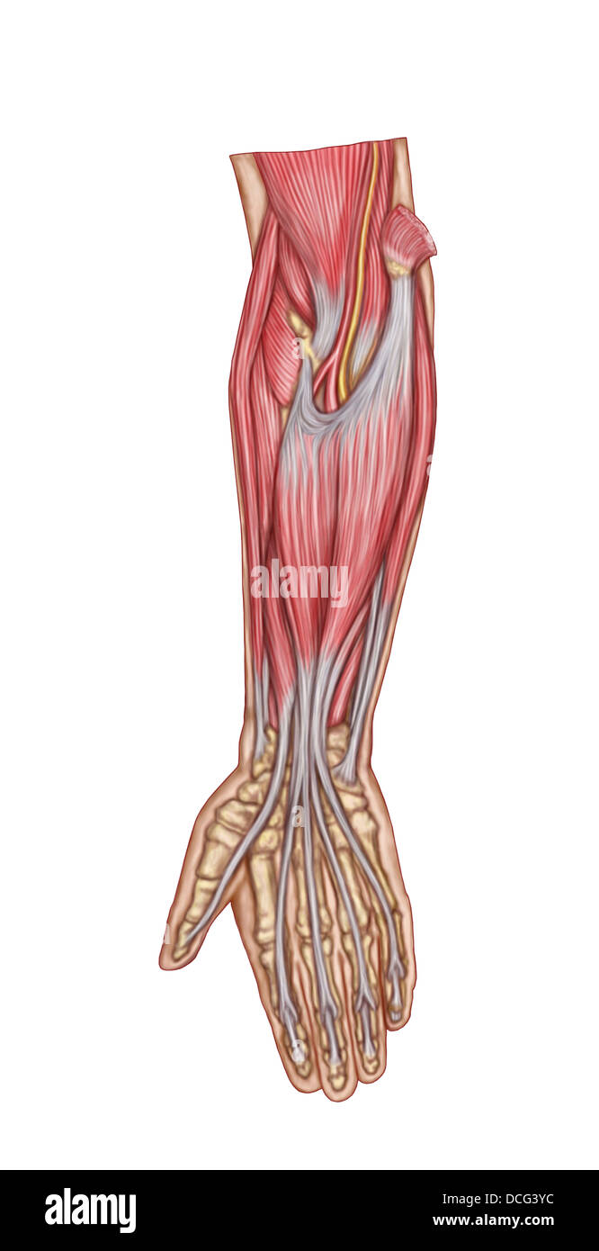 Anatomy Of Forearm Muscles Anterior View Middle Stock Photo