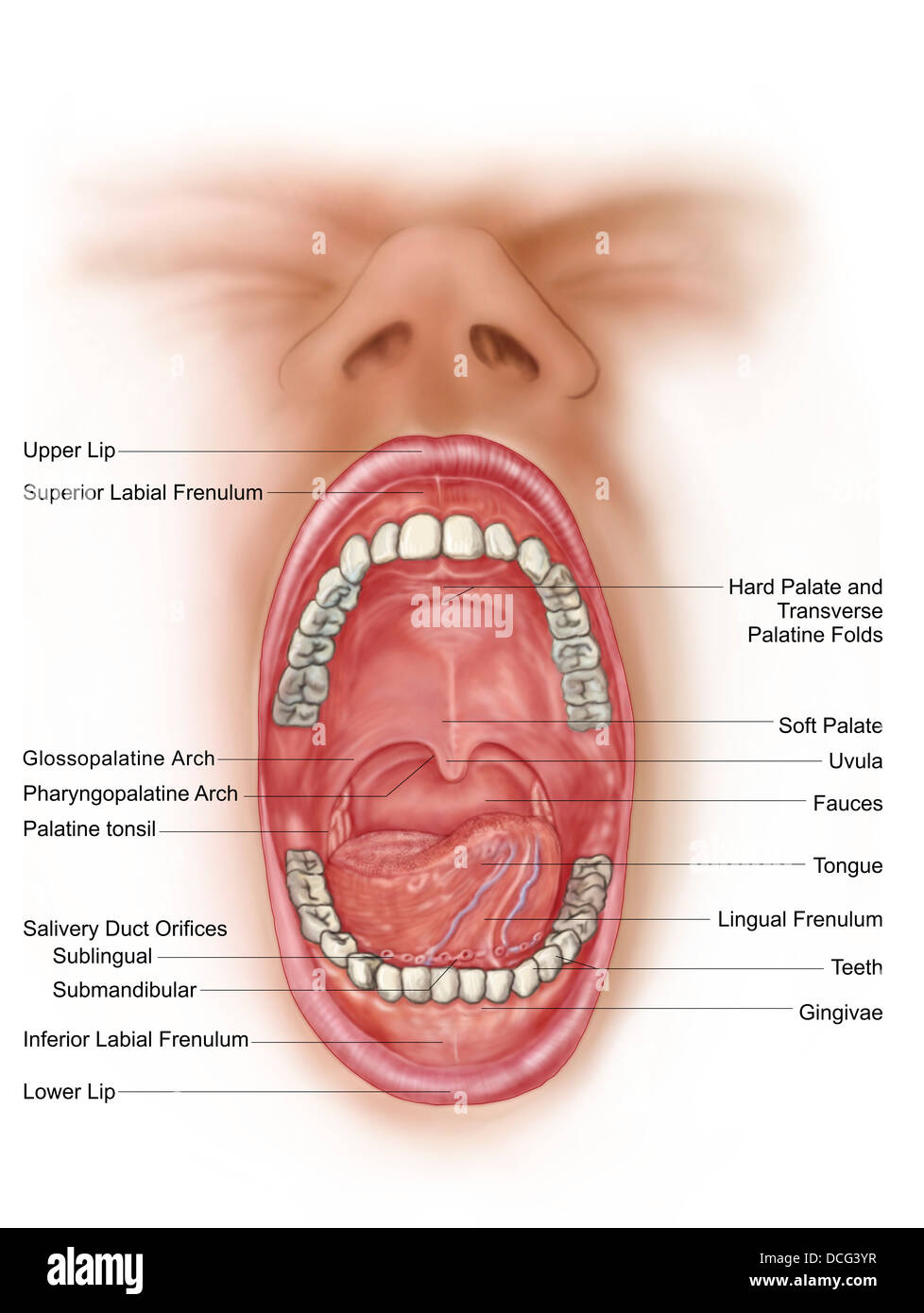 Anatomy of human mouth cavity Stock Photo: 59361339 - Alamy