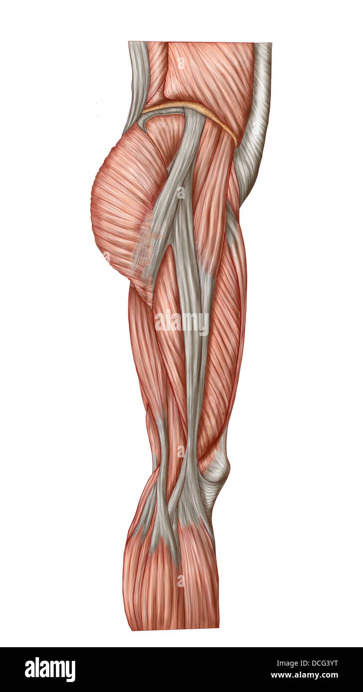 Anatomy Of Human Thigh Muscles Anterior View Stock Photo 59361340