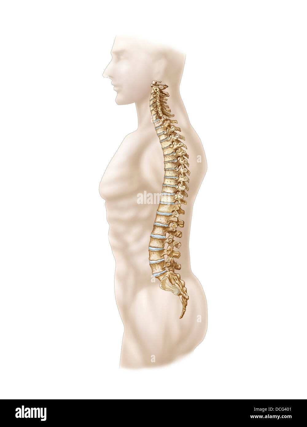 Anatomy of human vertebral column, left lateral view. - Stock Image