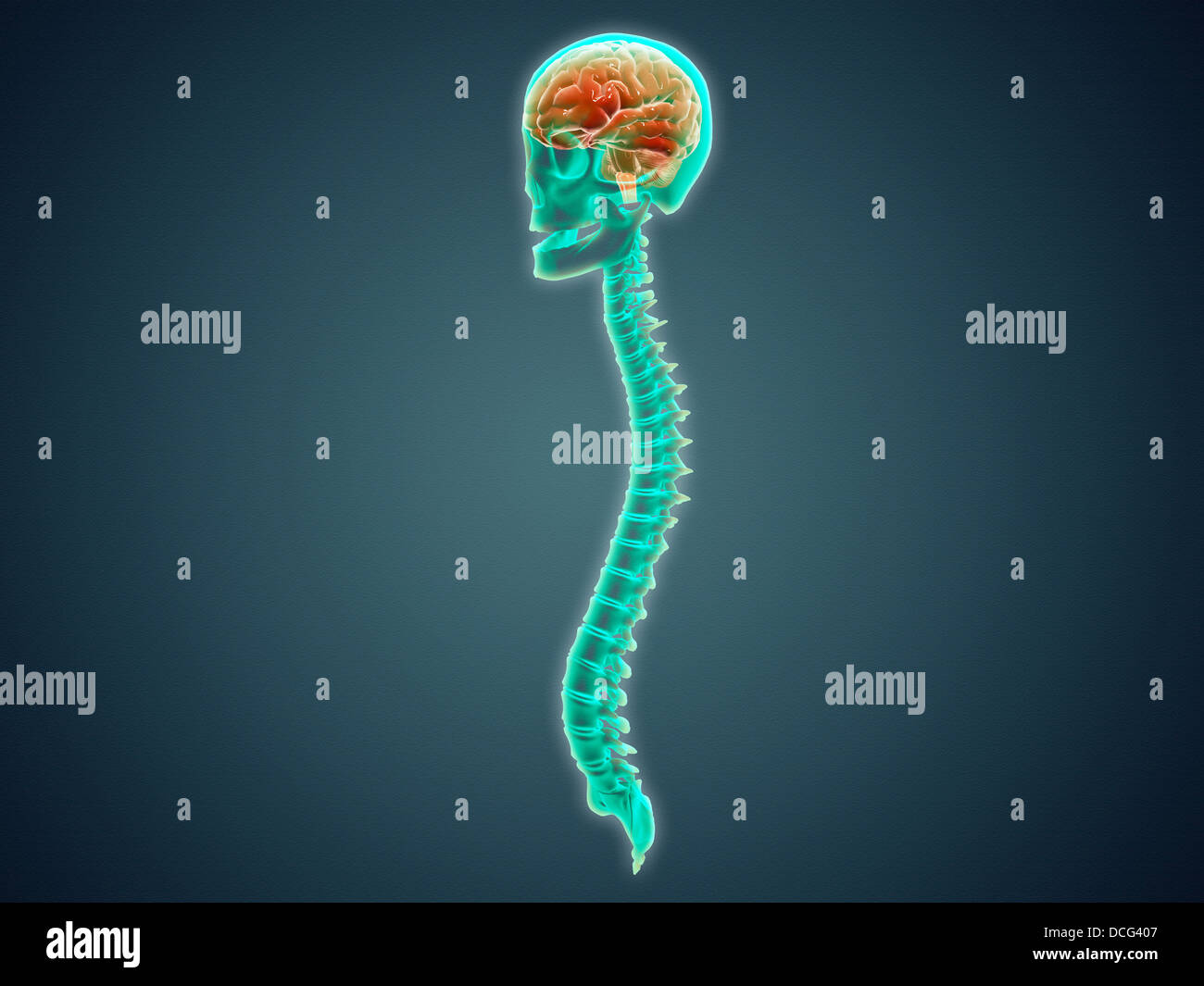 Conceptual image of human brain, skull and spinal cord. - Stock Image