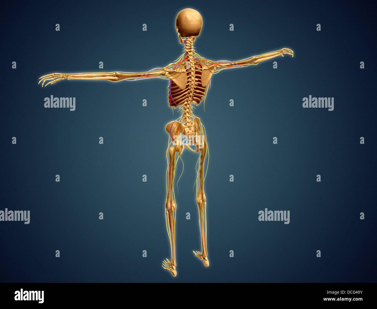 Vertebrate Skeleton Stock Photos & Vertebrate Skeleton Stock Images ...