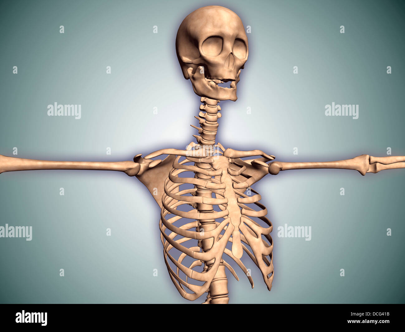 Conceptual Image Of Human Rib Cage And Spinal Cord With Skull Stock