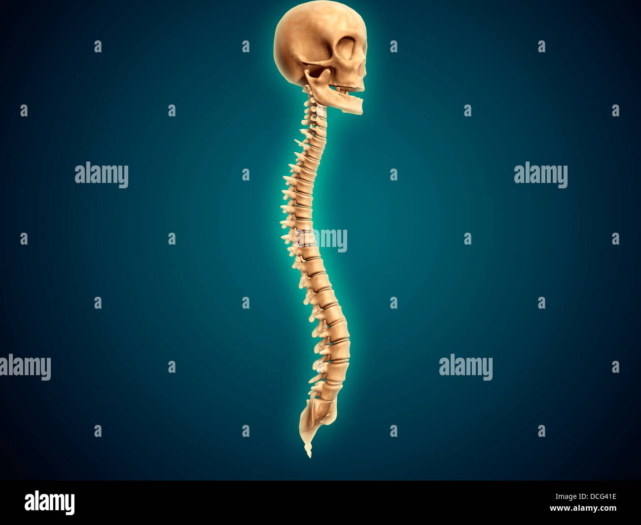 Conceptual image of human skull and spinal cord. - Stock Image