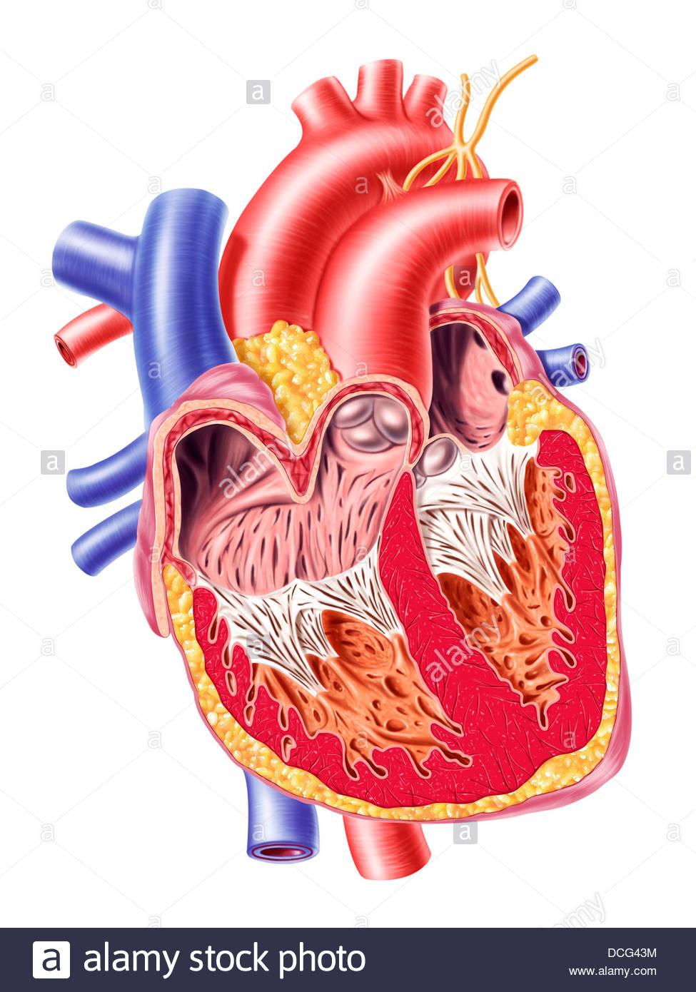 Anatomy of human heart, cross section with detailed internal Stock ...