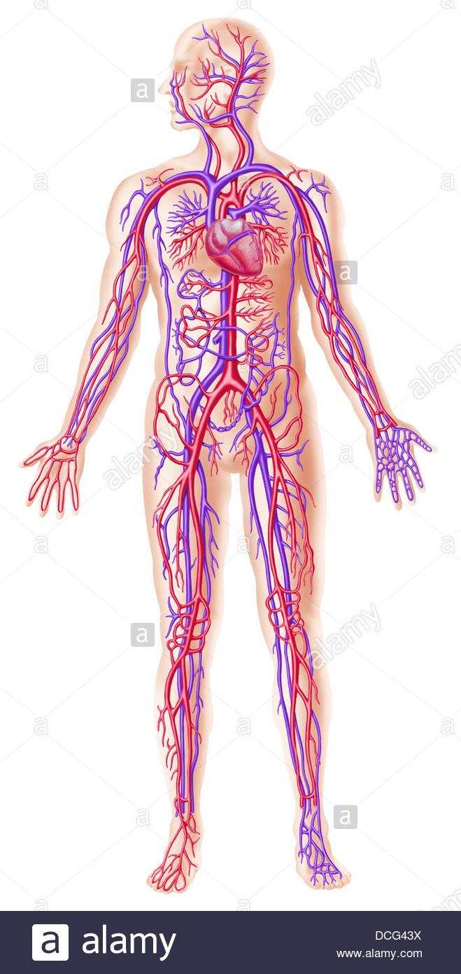 Female Organs Diagram Circulatory System Diy Wiring Diagrams