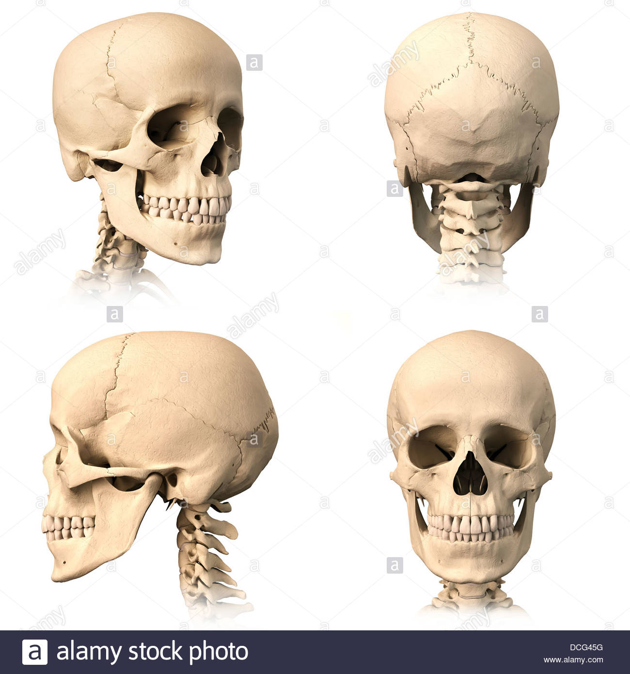 Occipital Bone Cut Out Stock Images & Pictures - Alamy