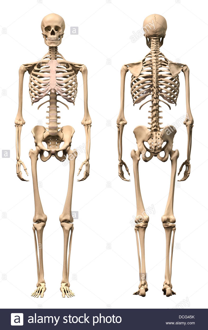 Anatomy Of Male Human Skeleton Front View And Back View Stock Photo