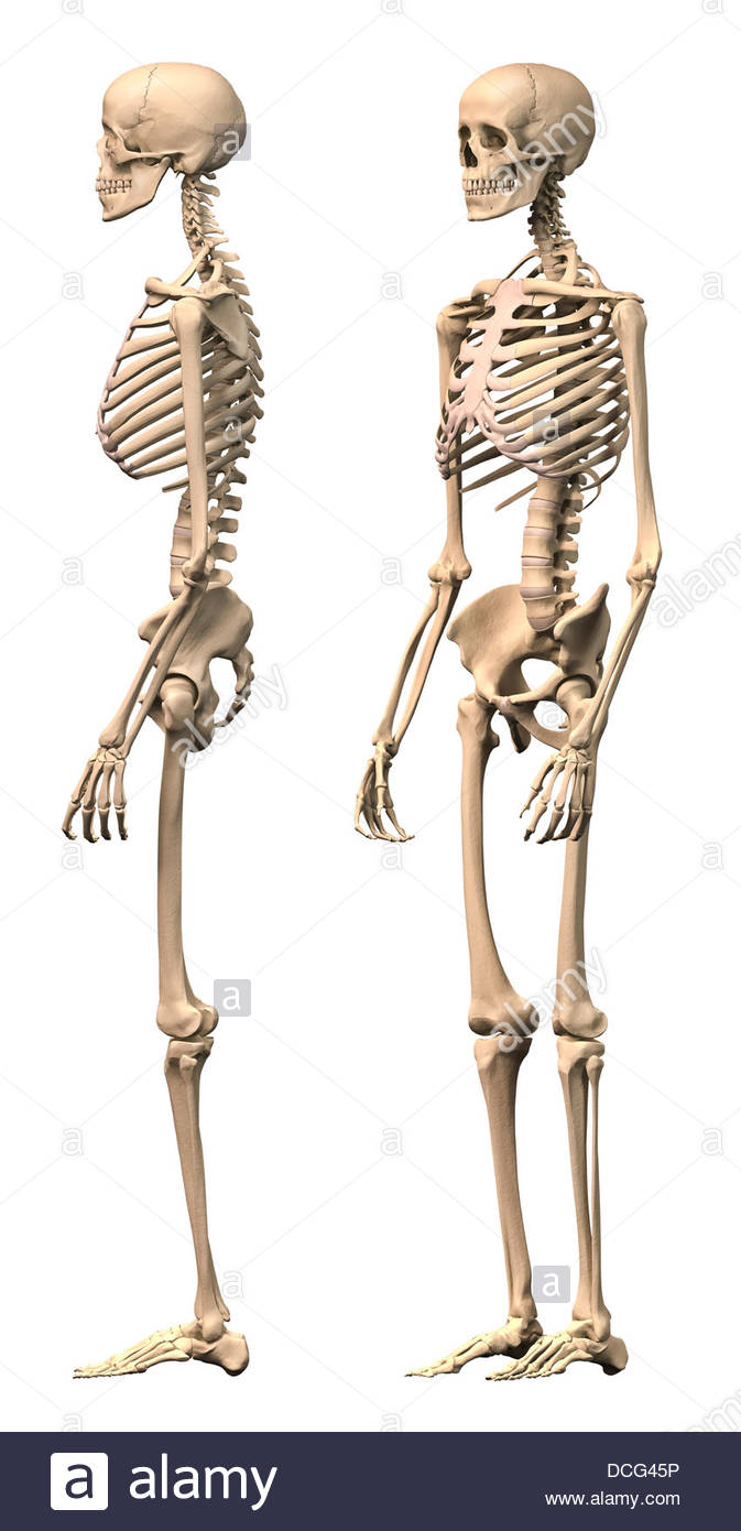 Anatomy Of Male Human Skeleton Side View And Perspective View Stock