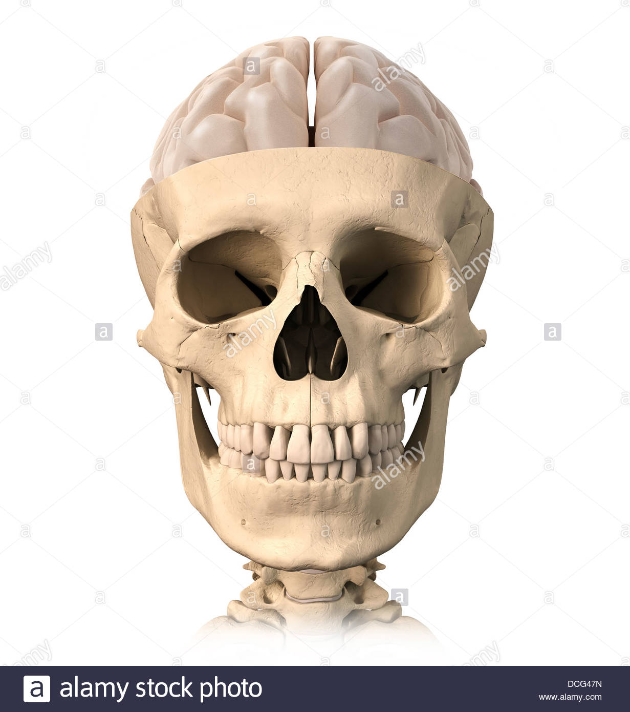 Anatomy of human skull, cutaway view with half brain showing, front ...