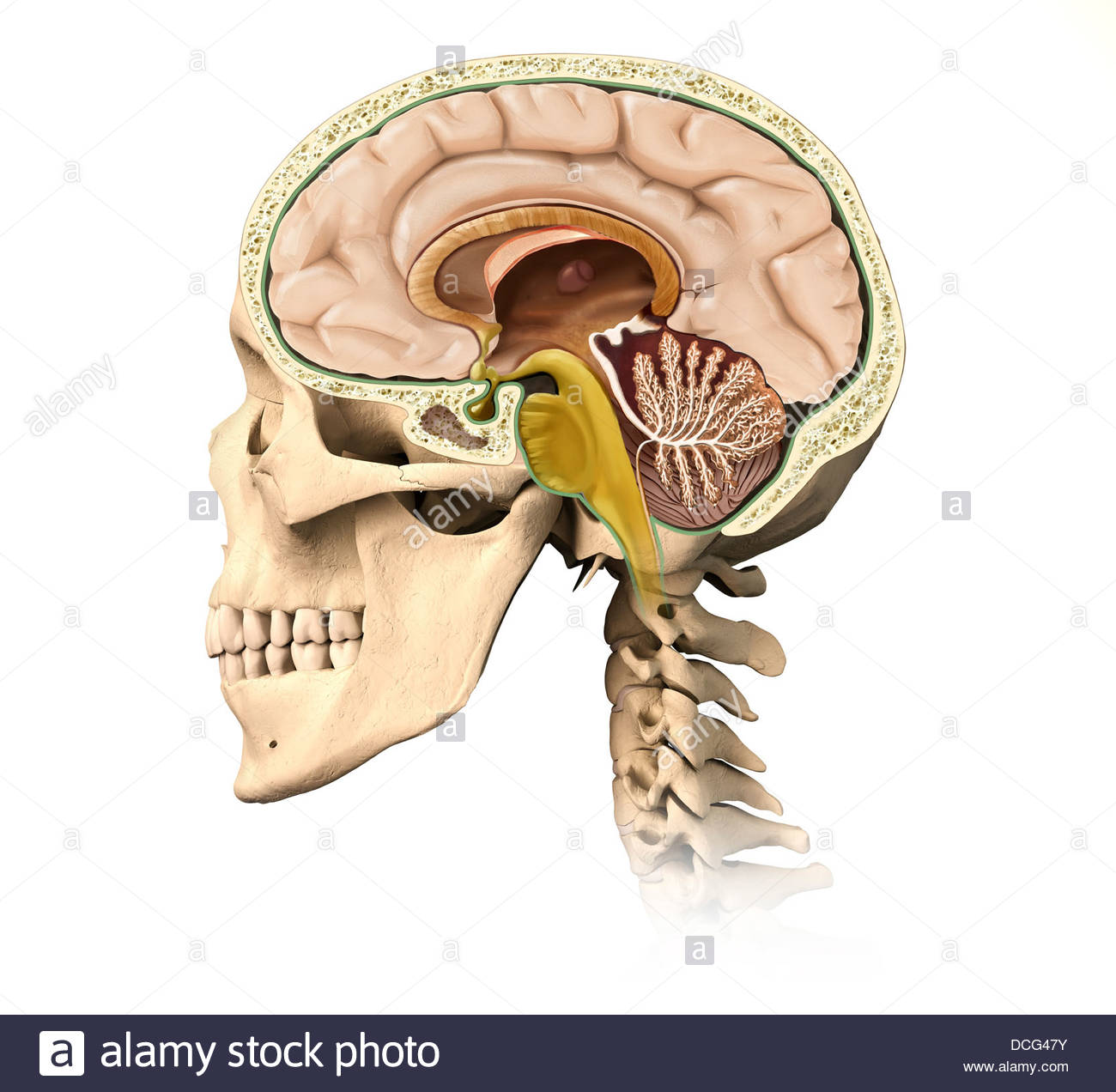 Brain Spinal Cord Cross Section Stock Photos & Brain Spinal Cord ...