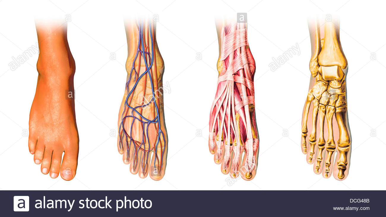 Human foot anatomy showing skin, veins, arteries, muscles, and bones ...