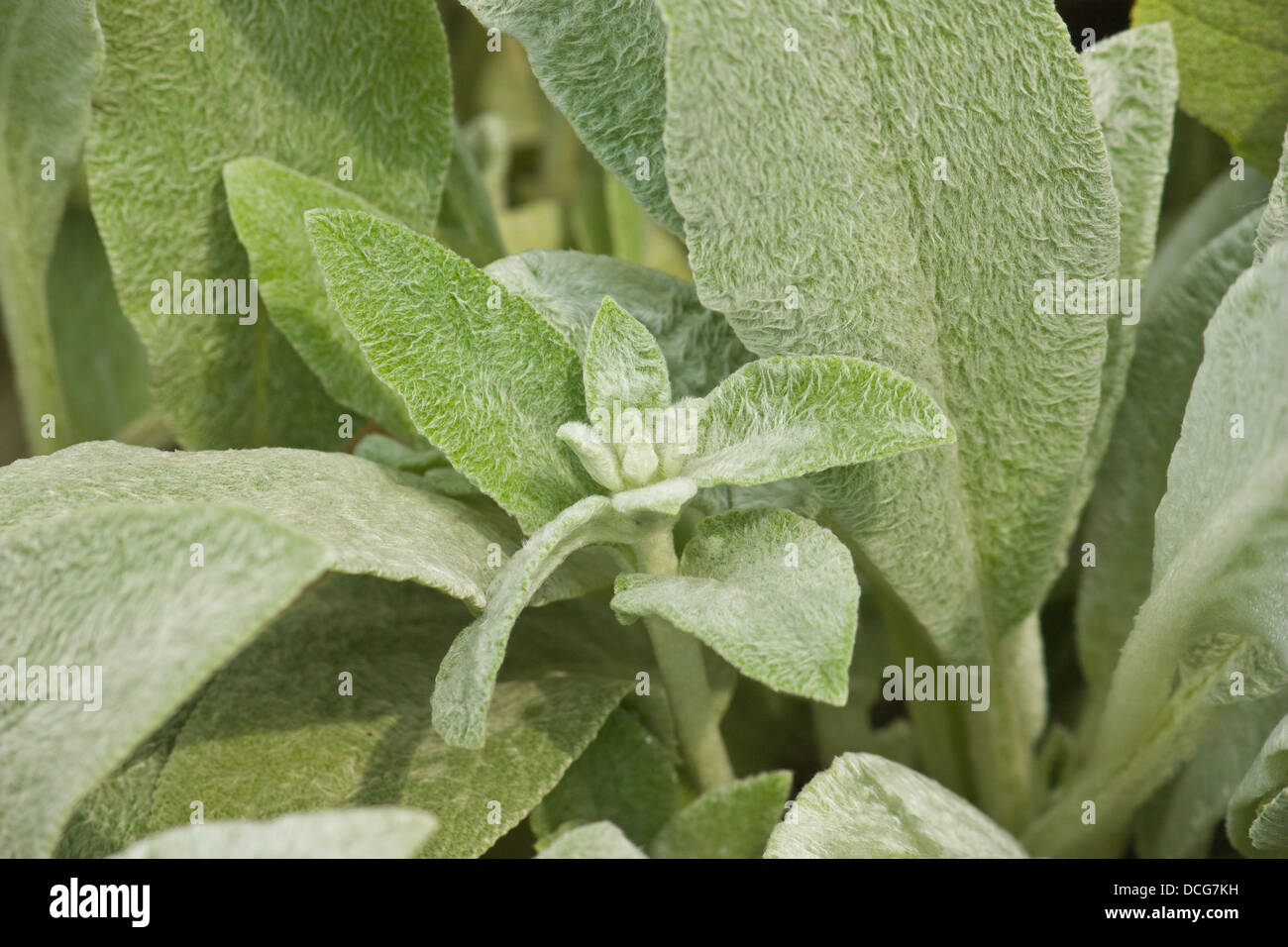 Salvia officinalis, culinary herb known as sage Stock Photo