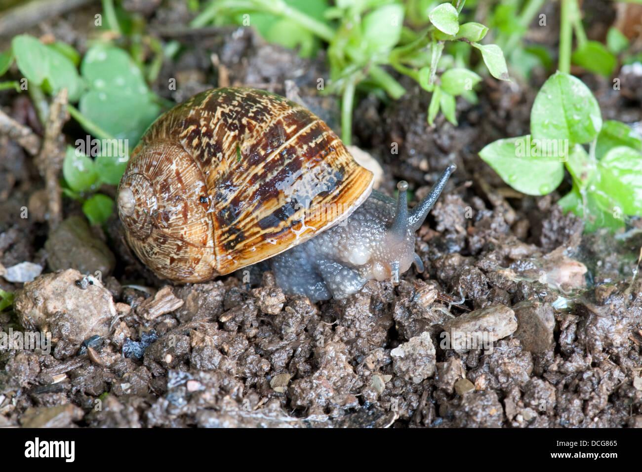 A common British garden snail muches it way through a Devon UK garden. - Stock Image