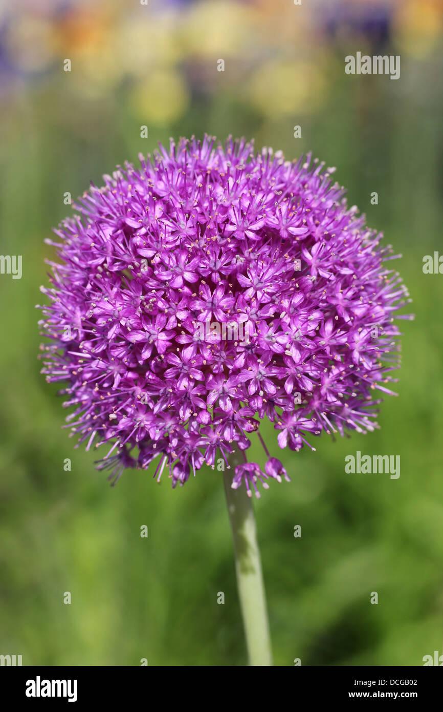 Flowering Allium Stock Photo