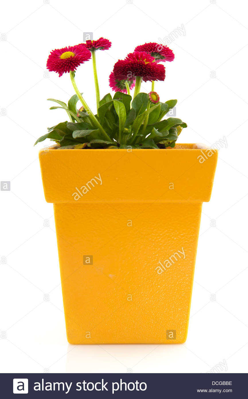 Pink Bellis In Yellow Flower Pot Stock Photo 59367154 Alamy